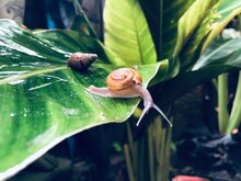 Tropical Snails Are Walking Af...