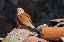 The Lesser Kestrel (Falco Naum...
