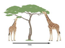 Giraffe Evolution And Natural Selection. Millions Of Years Later, After Many Generations, Eventually All The Giraffe Had Very Long Necks