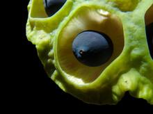 Lotus Pod With Black Seeds Close-up.