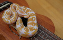 Lovely Snake Ball Python On Ukulele, It Is A Recessive Gene With Morph Albino