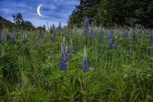 Night Scene With Field Plants . Beautiful Flowers Of Lupine  .
