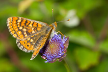 Euphydryas Aurinia, Butterfly, Marsh Fritillary With Open Wings