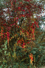 Yellow, Red And Green Leafage Of Wild Vine On A Tree In Autumn Forest.