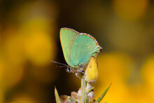 A Green Hairstreak Butterfly Perched On A Yellow Gorse Flower.