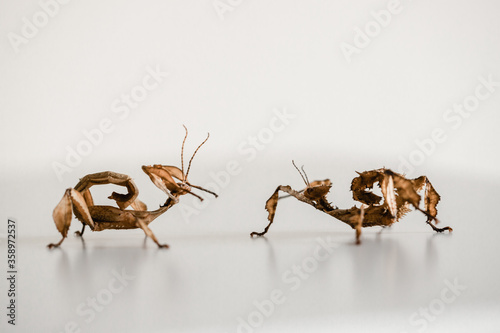 two spiny leaf insects, a make on the left and a female on the right (Extatosoma фототапет