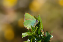 A Green Hairstreak Butterfly Sitting On Green Leaves.