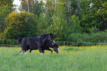 Two Black Horses With White Fa...