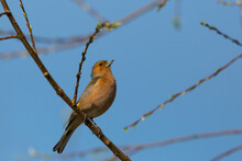 Chaffinch Bird (fringilla Coelebs) Sitting In Tree Branches, Blue Sky