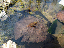 Water Strider On The Backgroun...