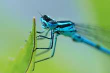 Macro Of Azure Damselfly Head ...