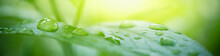 Nature Of Green Leaf With Rain Drops In Garden At Summer. Natural Green Leaves Plants Using As Spring Background Cover Page Greenery Environment Ecology Wallpaper