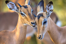 Young Impalas Grooming Sweetly
