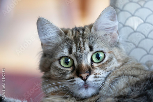 Fotografie, Tablou Tabby Cat headshot up close indoors