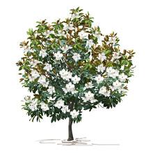 Magnolia (Magnolia Grandiflora L.) With Large Flowers