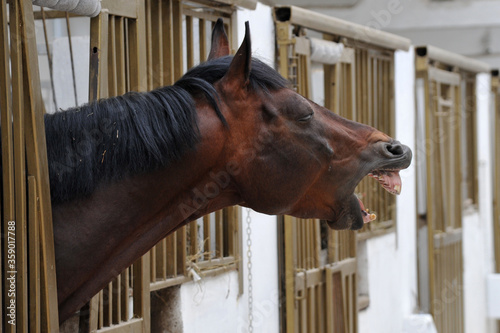 Fotografiet Horse that neighes in an animal farm