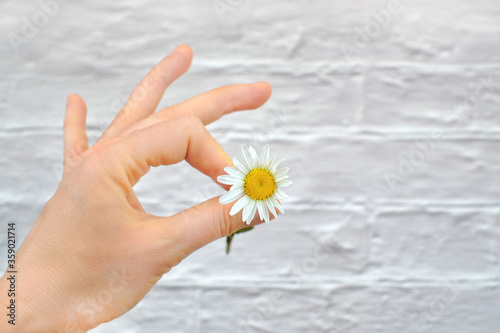 Camomile in hand as okey concept on white bricks background with copy space Wallpaper Mural