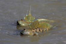 Mudskipper Fish, Amphibious Fi...
