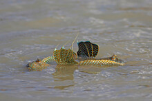 Mudskipper Fish, Amphibious Fi...