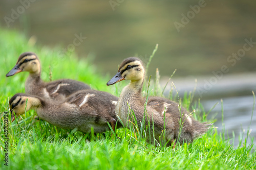 Close Up Of Young Mallard Ducks At Amsterdam The Netherlands 19 June 2020 Canvas Print