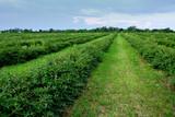 Fototapeta Krajobraz - plantacja jagody kamczackiej