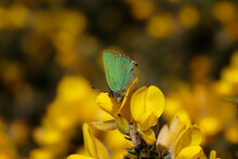 A Green Hairstreak Butterfly Perched On Yellow Gorse Flowers.