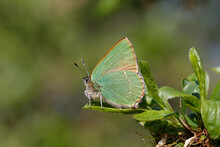 A Green Hairstreak Butterfly Perched On Green Leaves.
