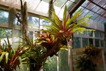 Neoregelia Is A Genus Of Epiphutic Flowering Plants In The Family Bromeliaceae, Subfamily Bromelioideae, Native To South America Rainforests