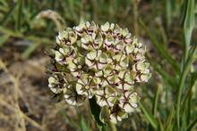 Antelope Horns Milkweed / Spid...