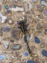 Unicorn Clubtail Dragonfly Res...