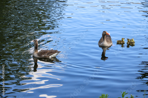 A family of greylag geese, Anser anser, swimming across the blue water of the boating lake in Regent's Park, London Poster Mural XXL