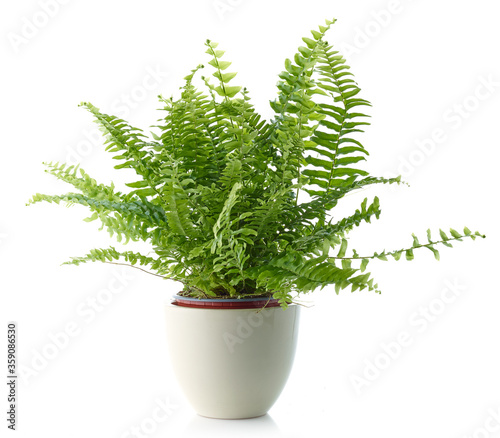 Fotografie, Obraz fern in a white flower pot