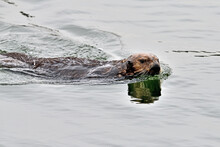 Sea Otter, Aka Enhydra Lutris At Moss Landing, California