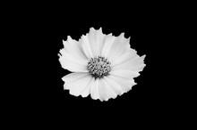 Black White Flower Isolated On Black Background
