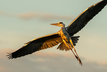 Grey Heron Flying Over In The ...