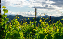 A Close Up Of Grapevines With ...