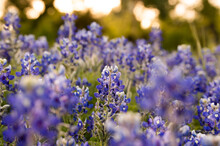 Bluebonnet Field At Sunset