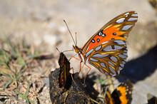 Butterflies Feeding On Animal ...