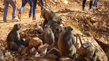 Monkeys Are Sitting In Group At Mountain Under Tree. 4k Footage. Chomu, Rajasthan, India