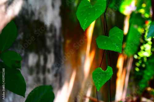 long creepers aligning adjacent to wall Canvas Print