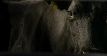 Close Up Of Black Cow On Cattle Ranch