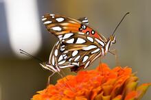 Mating Gulf Fritillary Butterflies