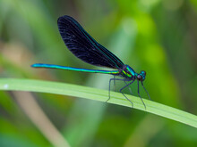 Ebony Jewelwing Damselfly On A Green Leaf