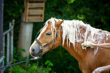 Horse Haflinger Gets His Mane Washed, Head Neck View From The Side..