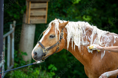 Stampa su Tela Horse Haflinger gets his mane washed, head neck view from the side