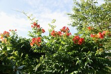 The Chinese Trumpet Creeper Is...
