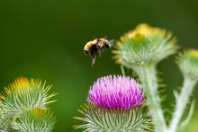 Bumble Bee In Flight Above Thi...