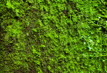 Green Moss On A Stone Wall As ...