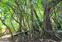 Big Roots Of Trees On Hiking T...