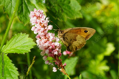 Butterfly Meadow brown (Maniola jurtina) of the family Nymphalidae  on the flowers of Polygonum affine of the family Polygonaceae Canvas Print